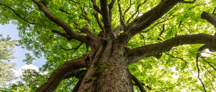 qlik sense extensions - featured image gazing up the trunk of a large tree