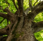 qlik sense extensions – thumbnail  image gazing up the trunk of a large tree